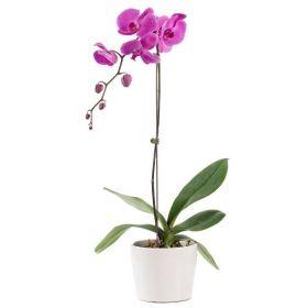 Purple Orchid Plant - 1 Stem Only